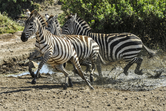 Zebra are seen running at the Serengeti National Park in Tanzania Nov. 14, 2013. (U.S. Navy photo by Mass Communication Specialist 1st Class Eric Dietrich/Released)