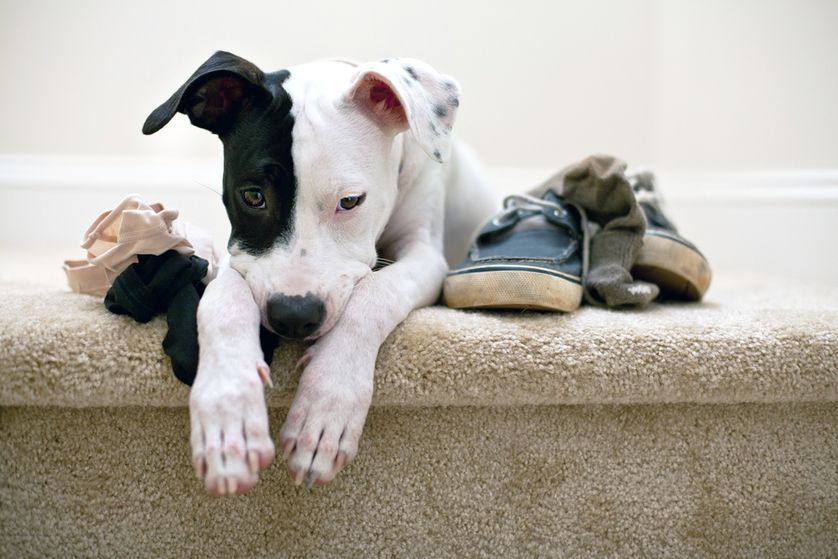 This little puppy might feel guilty for chewing on clothes, or he could just be worried about getting in trouble. The two aren't the same emotion. (Photo: InBetweentheBlinks/Shutterstock)