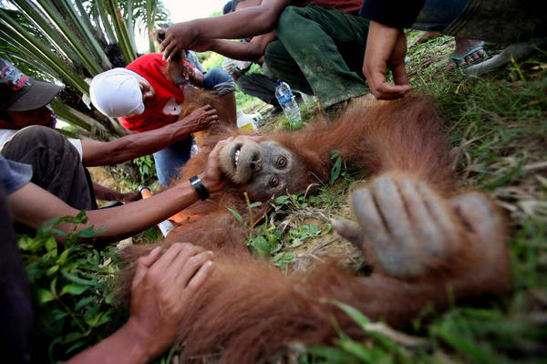 In this Thursday, March 1, 2012, Indonesian veterinarian Yenni Saraswati, top center, of Sumatran Orangutan Conservation Programme (SOCP) examines the condition of an injured Sumatran orangutan found by environmental activists at a palm oil plantation in Rimba Sawang village, Aceh province, Indonesia. Conservationists say fires in an Indonesian swamp forest may have killed a third of the rare Sumatran orangutans living there and all of them may be lost this year. Binsar Bakkara, Associated Press.