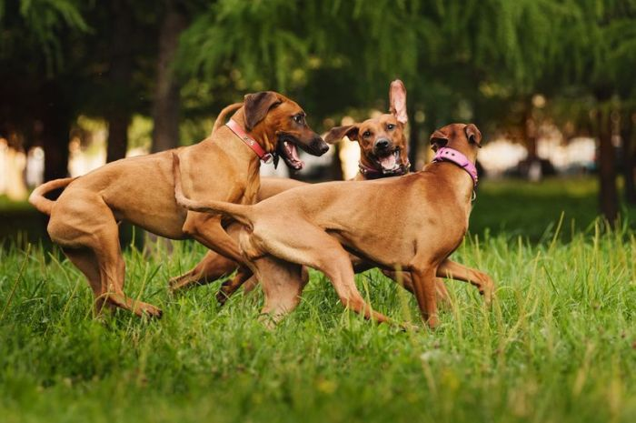 Watch for things that might set your dog into bully mode, including the energy level, the play partner's personality, and other factors. (Photo: Ksenia Raykova/Shutterstock)