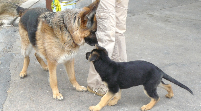 Pharaoh demonstrating his benevolent status with puppy Cleo. April 2012.