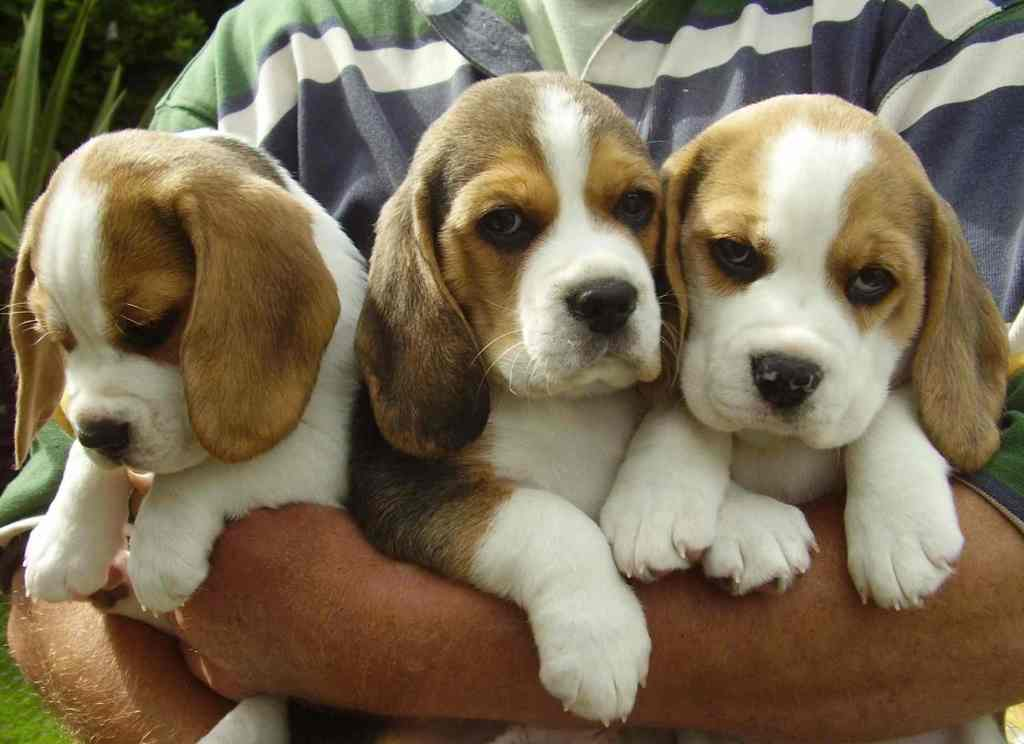 Let them grow up as happy beagles!