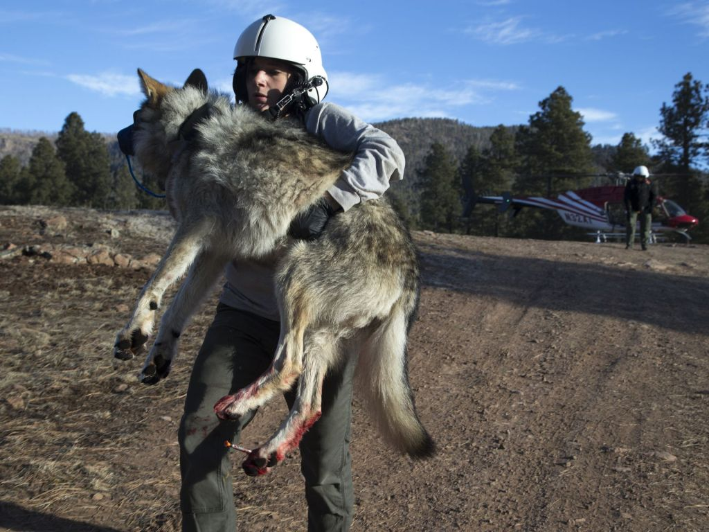 Mexican wolf biologist Julia Smith carries Wolf No. M1342 from the helicopter to the Alpine field station. He was darted from a helicopter to have his radio collar replaced. Mark Henle/The Republic