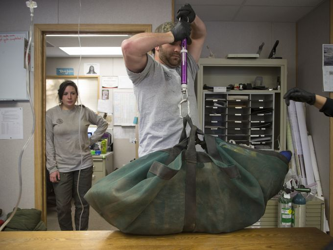 Mexican wolf biologist Brent Wolf weighs Wolf No. M1342 in the Alpine field office. Mark Henle/The Republic