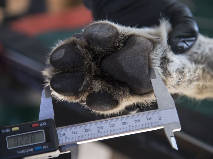 Measurements are taken of Wolf No. M1342's paws. Mark Henle/The Republic