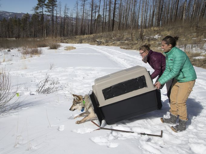 From left, interns Hannah Manninen and Becca Thomas-Kuzilik release Wolf No. M1342 at Escudilla Mountain. Mark Henle/The Republic