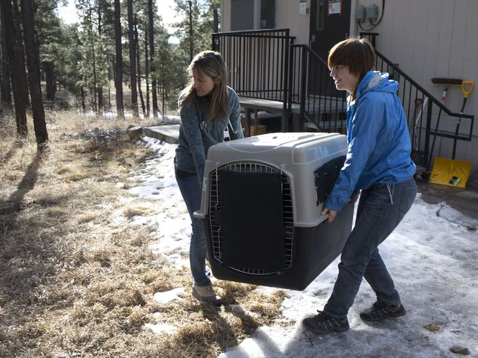 From left, Dr. Susan Dicks and intern Rowan Converse carry Wolf No. M1342's kennel. Mark Henle/The Republic
