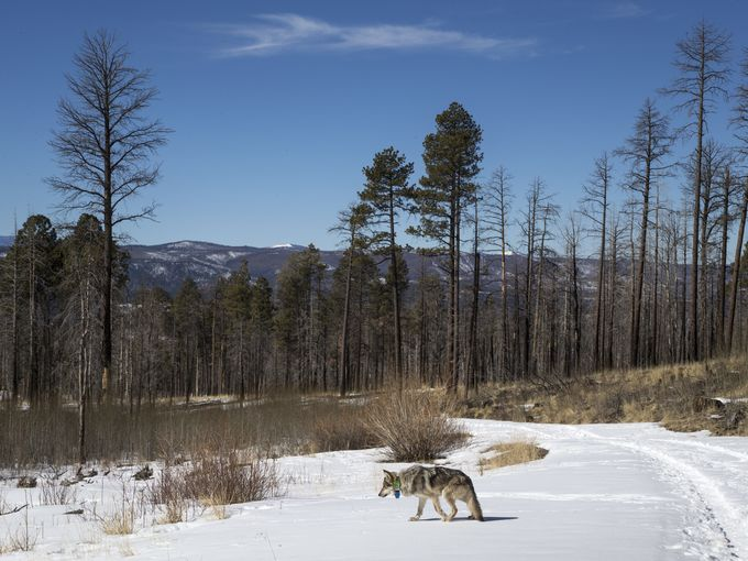 Wolf No. M1342 and his mate are believed to have mated last year, but did not produce any surviving pups. Researchers say their experience should help the wolves when they try again. Mark Henle/The Republic