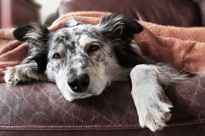 Most dogs in the U.S. don't have the immunity to fight off the Asian-based dog flu. (Photo: Lindsay Helms/Shutterstock)