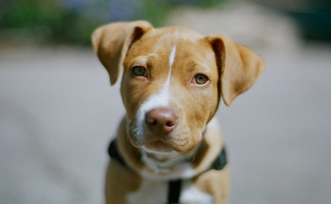 "An adorable shelter dog shouldn't have a difficult time finding a home—but it might if it comes with the label ""pit bull."" (LeticiaRose / iStock)"