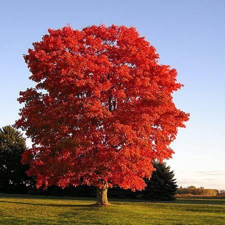 A mature American Red Maple tree.