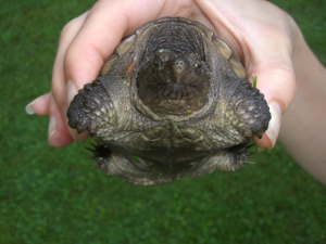 Hubs nearly ran over this guy with the mower. I had to come and get it 'cuz it's a snapping turtle!