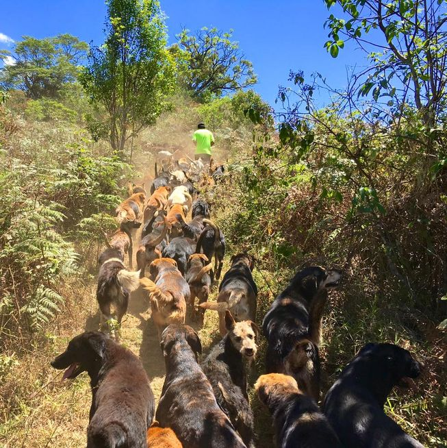 A volunteer at Territorio de Zaguates leads a pack of dogs up a hill. (Photo: Territorio de Zaguates)