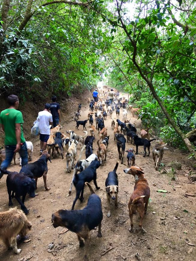A pack of rescued dogs take a leisurely walk in the woods with a few of the sanctuary's hard-working volunteers. (Photo: Territorio de Zaguates)