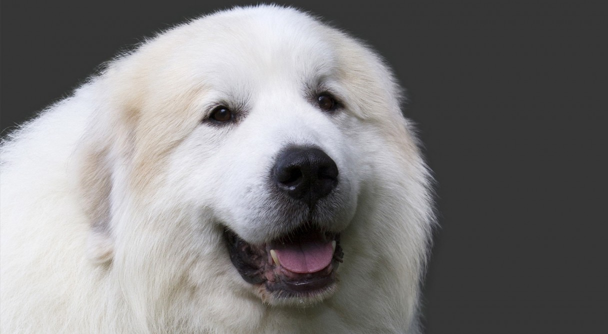 Great Pyrenees dog – Learning from Dogs