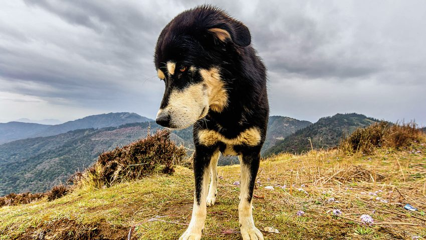 Asian dogs like this Tibetan mastiff have been separated from European breeds such as Labradors for more than 6000 years. Darko Vrcan/Alamy Stock Photo