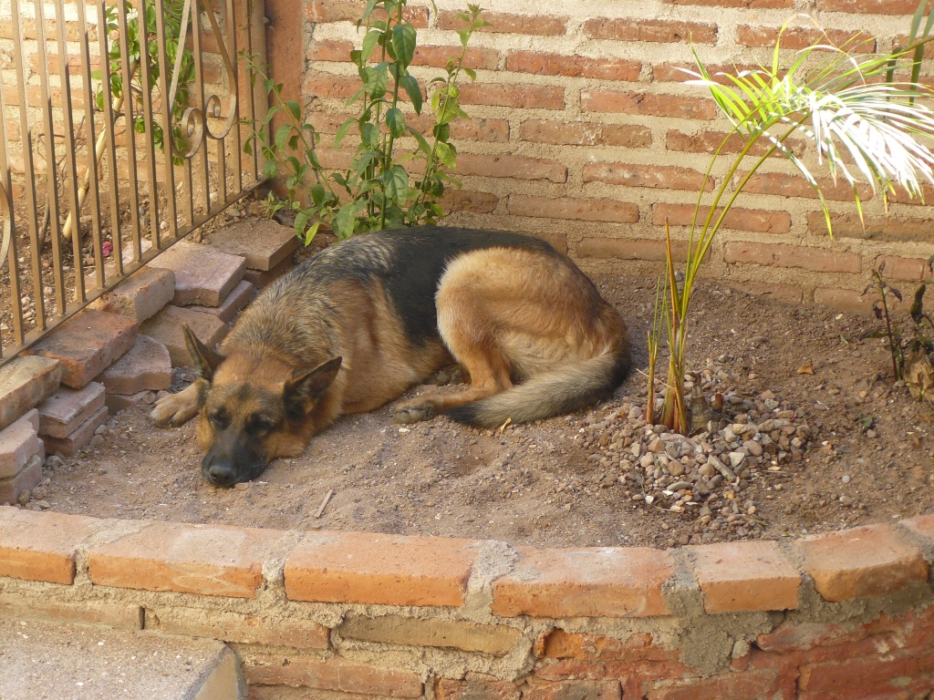 Pharaoh now settled in to life in San Carlos, Mexico. Picture taken in March, 2009.