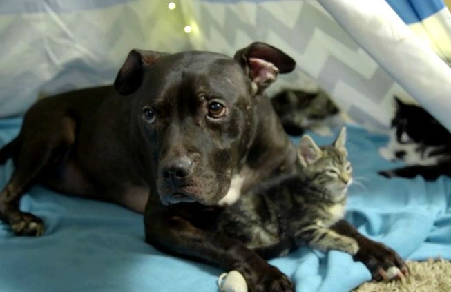 Cherry relaxes with new friends in his very own kitten cuddle fort. (Photo: BarkPost)