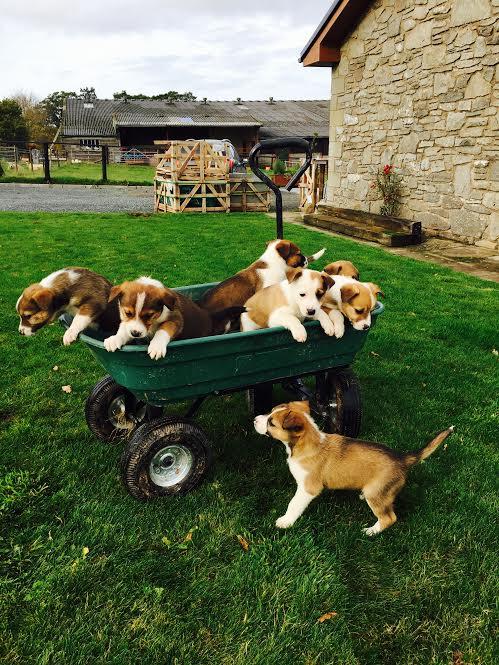 hopkins pups