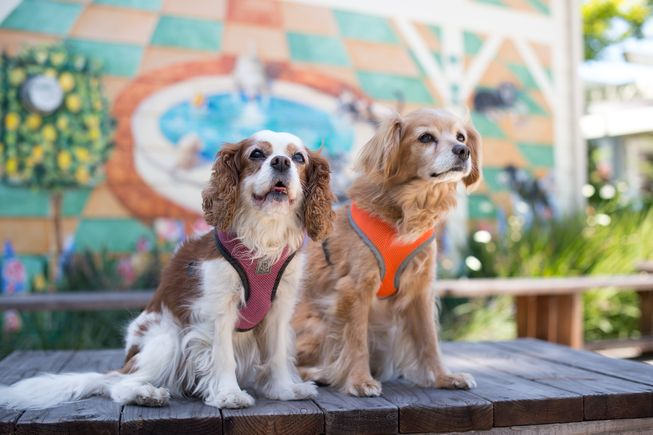 Lucy and Savvy are two spaniel BFFs. (Photo: Jane Sobel Klonsky)