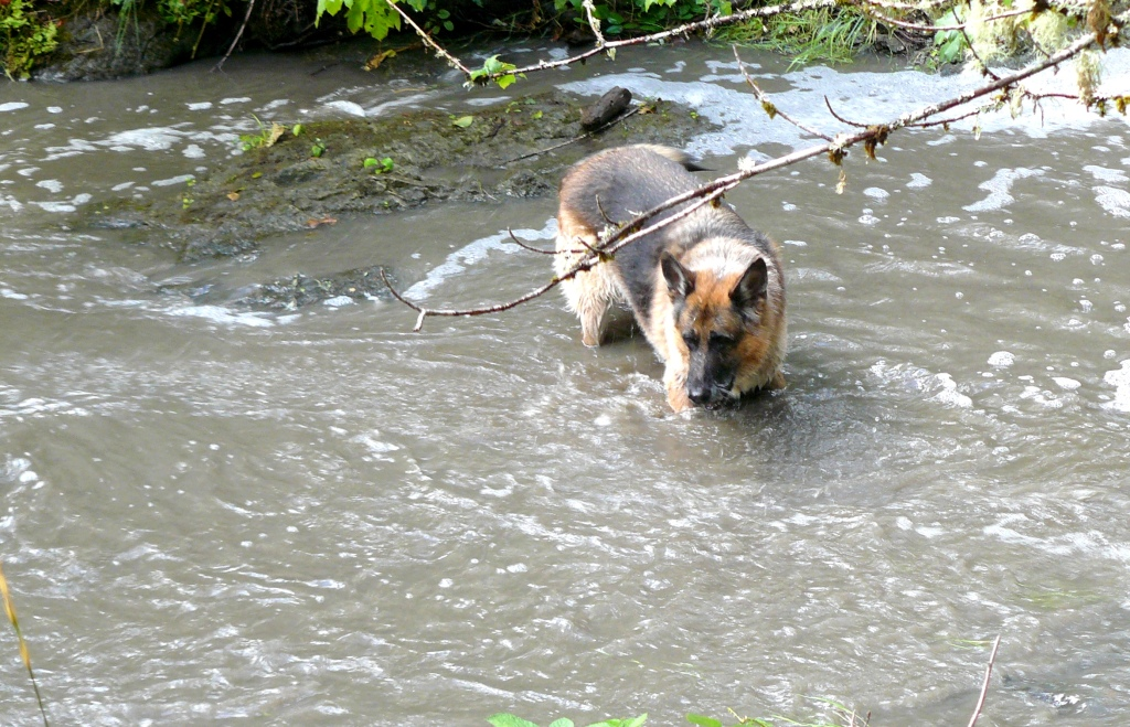 Pharaoh playing in Bummer Creek after Autumn rains in 2013.