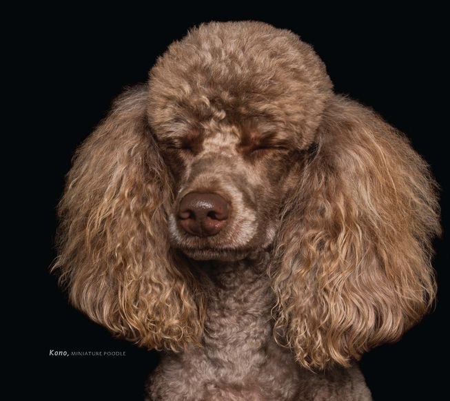 Kono is a miniature poodle in a moment of Zen. (Photo: 'Zen Dogs' by Alex Cearns /HarperOne)