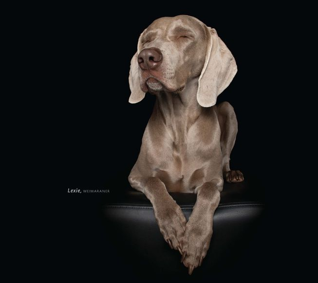 Lexie the Weimaraner looks stately. (Photo: 'Zen Dogs' by Alex Cearns/HarperOne)