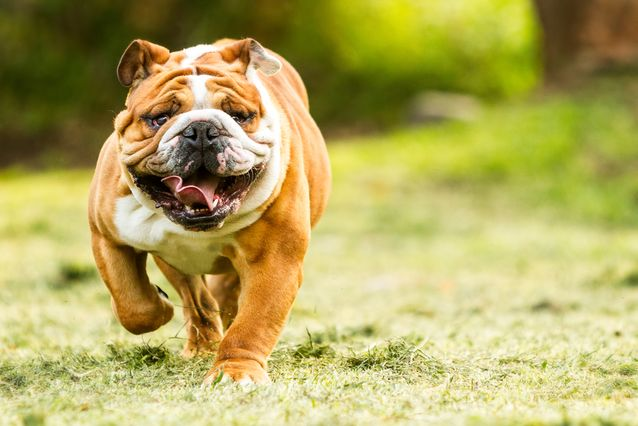 bulldog-running-jpg-638x0_q80_crop-smart
