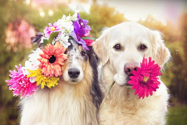 collie-retriever-wearing-flowers-jpg-638x0_q80_crop-smart