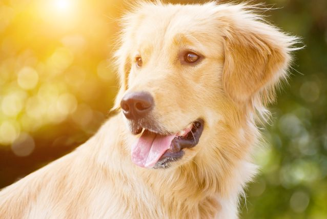 golden-retriever-jpg-638x0_q80_crop-smart