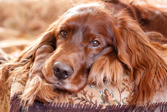 irish-setter-jpg-638x0_q80_crop-smart