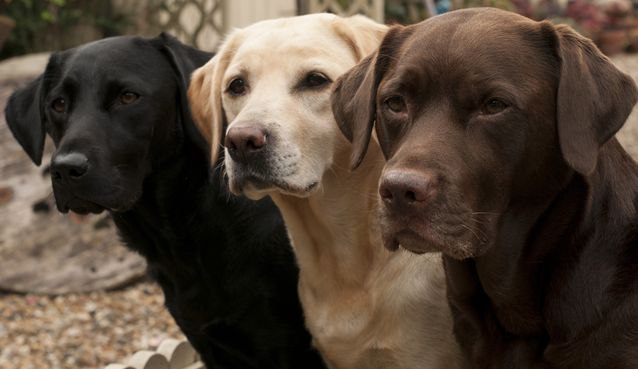 labrador-retrievers-jpg-638x0_q80_crop-smart