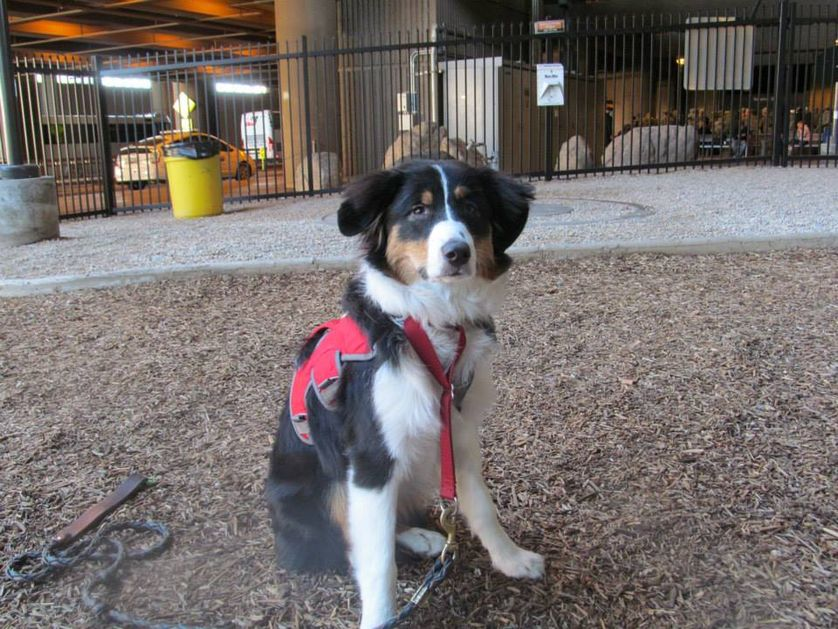 Cassie, a 6-month-old Australian shepherd from San Diego, took advantage of one of the pet-relief areas at Phoenix Sky Harbor International Airport. (Photo: Phoenix Sky Harbor International Airport/Facebook)