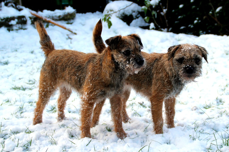 border terrier temperament learning from dogs dogs are animals of integrity we 169